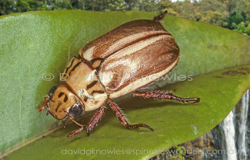 australian rainforest beetles scarabaeidae scarab dung rhinoceros