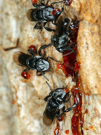 Tetragonula carbonaria - Stingless Bee