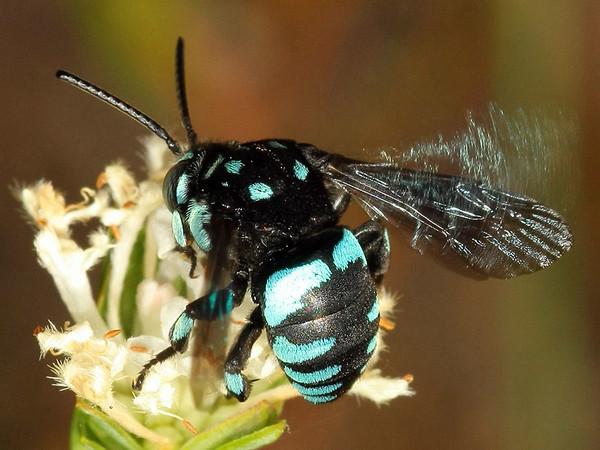 Thyreus nitidulus - Neon Cuckoo Bee