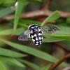 Thyreus waroonensis - Waroonensis Cuckoo Bee