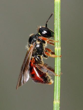 Exoneura bicolor - Reed Bee