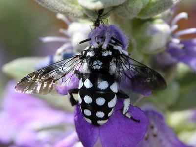 family Apidae