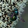 Xylocopa (Lestis) aeratus - Green Carpenter Bee (female)