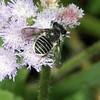 Afranthidium repetitum - African Carder Bee