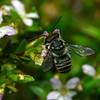 possible Megachile sp.