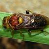 Pergagrapta latreillii (female)