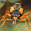 Perga affinis - Steelblue Sawfly