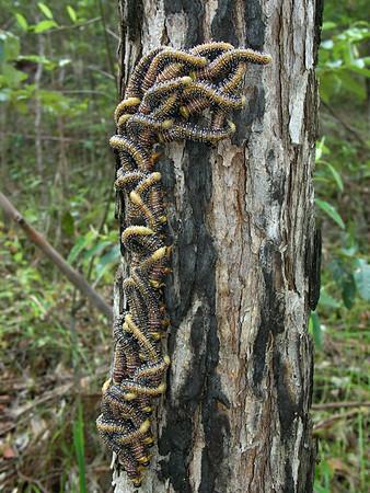 Perga affinis - Steelblue Sawfly larvae