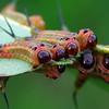 Lophyrotoma sp. larvae