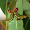 Lophyrotoma interrupta larvae