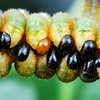Unknown Sawfly larvae