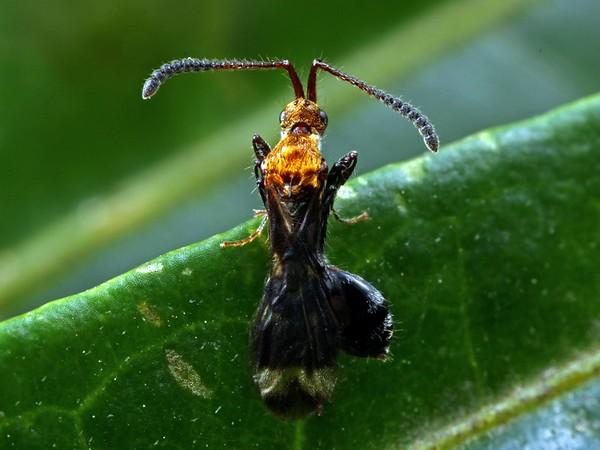 possibly Austroxylabis pictipenni