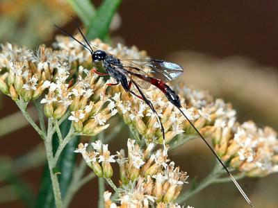 family Gasteruptiidae