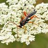 Echthromorpha intricatoria - Cream-spotted Ichneumon - male