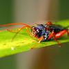 Echthromorpha intricatoria - Cream-spotted Ichneumon - female