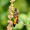 Ctenochares bicolorus