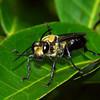 Sphex cognatus