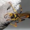 Sceliphron laetum - Common Mud Dauber Wasp