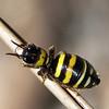 possible Campylothynnus sp. - female