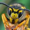 Vespula germanica - European Wasp