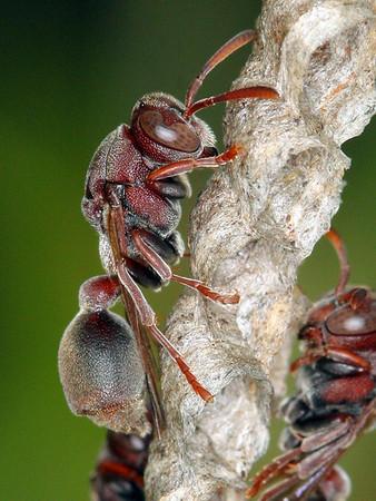 Bộ sưu tập côn trùng 2 - Page 15 Ropalidia%20revolutionalis%20-%20NNP310809%20%284%29-M