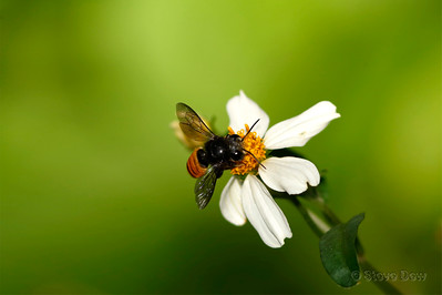 Fire-tailed Resin Bee
