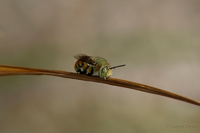Banded Bee