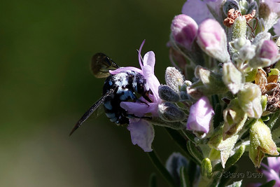 Blue-spotted Cloak-and-dagger Bee