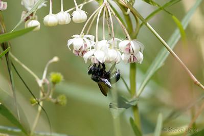 Peacock Carpenter Bee