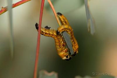 Sawfly Larvae & Parasitic Wasp