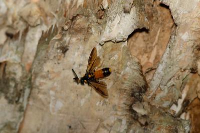 Paperbark Sawfly