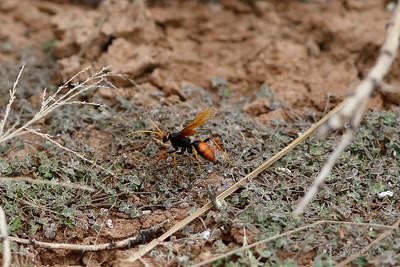Orange Spider Wasp