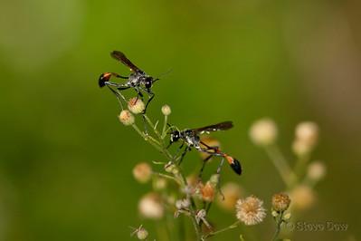Thread-waisted Wasps