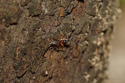 Banded Pupa Parasite Wasp