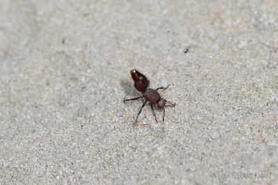 Red Velvet Ant