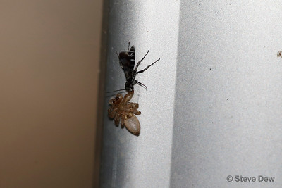 Small Spider-Wasp and Prey