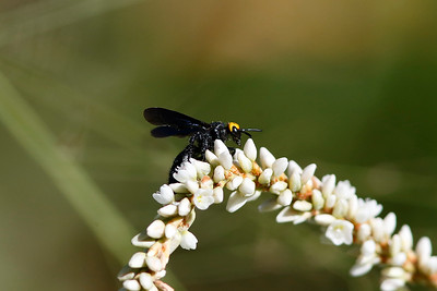 Yellow-headed Flower Wasp