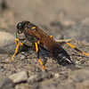 Black-and-yellow Mud Dauber, Prince Edward Point National Wildlife Area, Ontario