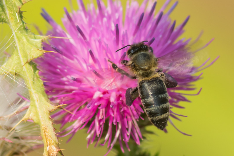 Western Honey Bee, Prince Edward Point National Wildlife Area, Ontario