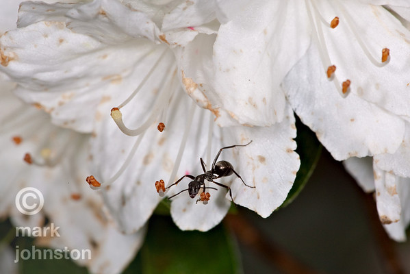 An ant explores an azalea flower, examining each stamen for food.