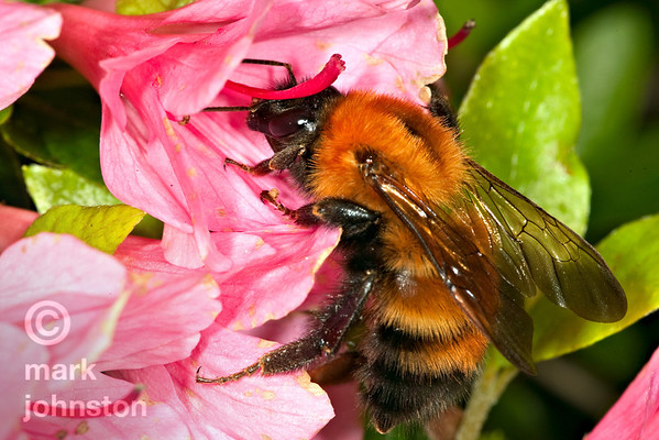 A bumblebee probes newly-opened flower blossoms, collecting nectar.
