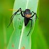 Spider Wasp (Entypus unifasciatus)