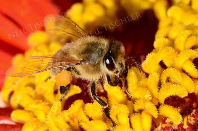 1353  Honey Bee on zinnia