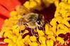 1353  Honey Bee on zinnia