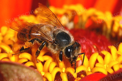 #922  Honey Bee on Zinnia