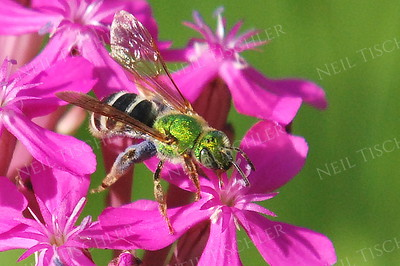 #626  Virescent Green Metallic Bee