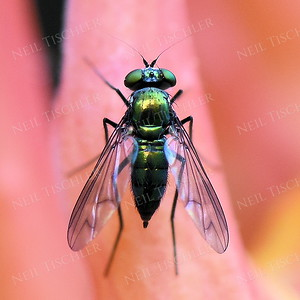 1405  Texan Long-legged Fly
