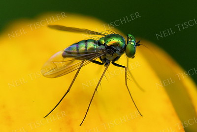 1391  Texan Long-legged Fly