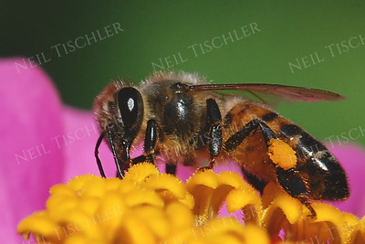 #965  Honey Bee on Zinnia