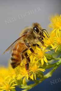 #1135  Honey Bee on Goldenrod